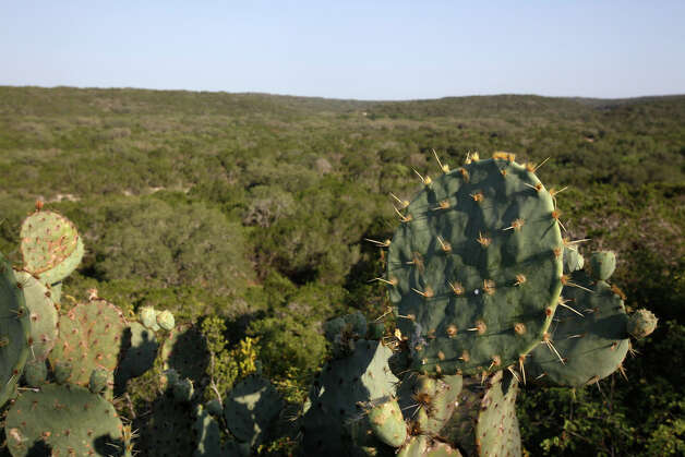 Prickly cactus grows by the South Bluff Spurs Overlook at Government Canyon, Thursday, June 25, 2009. Photo: JERRY LARA, San Antonio Express-News / glara@express-news.net