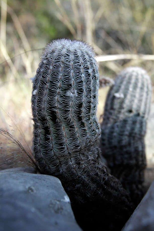 Cactus grows by a rock along the Bluff Spurs Trail at Government Canyon Natural Area, Thursday, June 25, 2009. Photo: JERRY LARA, San Antonio Express-News / glara@express-news.net