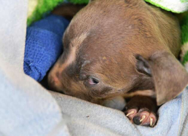 A three-week-old pit bull puppy, one of three, found mutilated and abandoned in Albany and now at the Mohawk Hudson Animal Shelter in Menands Tuesday Sept. 11, 2012.  Smaller and weaker than the others, this puppy may not survive.  (John Carl D'Annibale / Times Union) Photo: John Carl D'Annibale