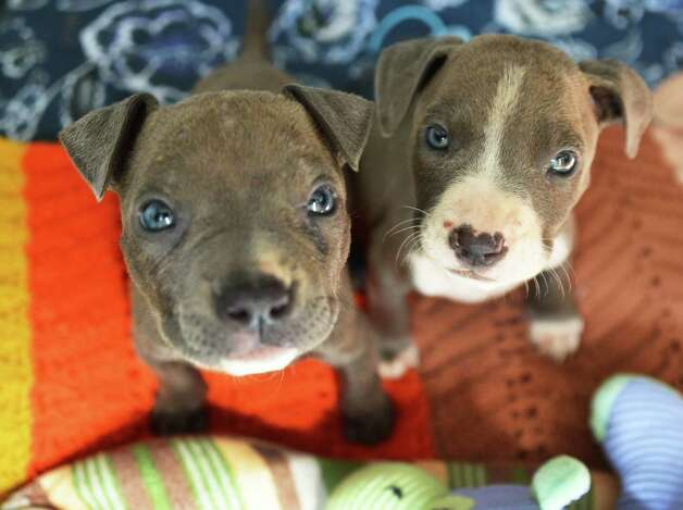 Two of the three pit bull puppies found mutilated and abandoned in Albany and now at the Mohawk Hudson Animal Shelter in Menands Tuesday Sept. 11, 2012.  (John Carl D'Annibale / Times Union) Photo: John Carl D'Annibale