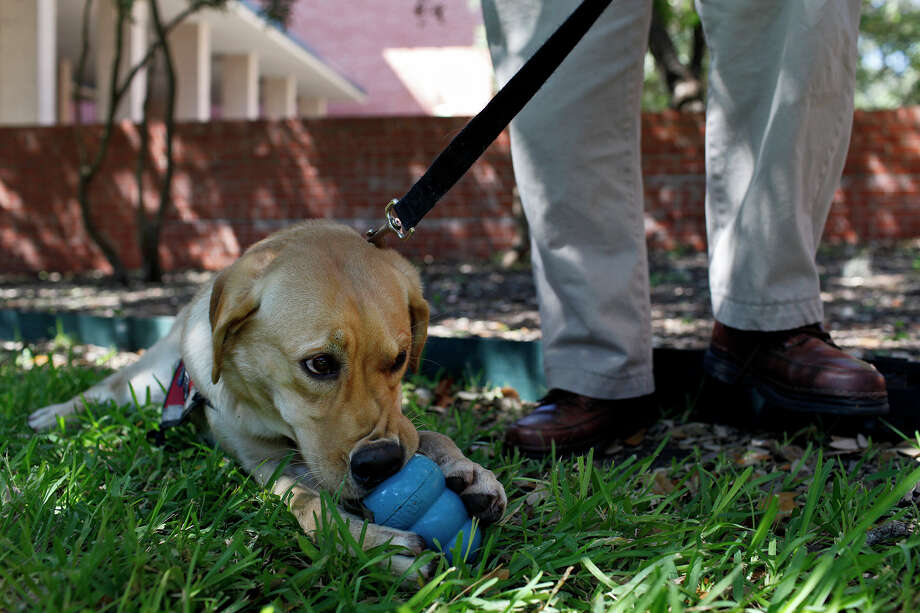 Jjurgens chews on her toy next to John Sheldon, the brother-in-law of Paul Jurgens, a Port Authority Police Officer who was killed in the September 11, 2001, attack on the World Trade Center, after a ceremony honoring John Sheldon and his wife, Alice Sheldon, the sister of Paul, with Jjurgens, who is being trained as a TSA dog and is named for Paul, at Trinity University in San Antonio on September, 11, 2012. Photo: Lisa Krantz, San Antonio Express-News / San Antonio Express-News