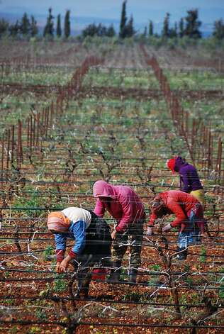 The Guerrouane region near Meknes has prime land for growing grapes in Morocco. Free from the appellations system that control vineyard plantings in France, French winegrowers enjoy the freedom to experiment in Morocco. They opt for heat-tolerant varieties, such as syrah and tempranillo. Photo: Andy Pag, Special To The Chronicle