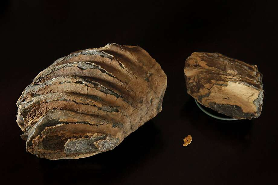 Two pieces of a 10-inch-long woolly mammoth tooth sit with a gold nugget found earlier in the excavation. Photo: Carlos Avila Gonzalez, The Chronicle
