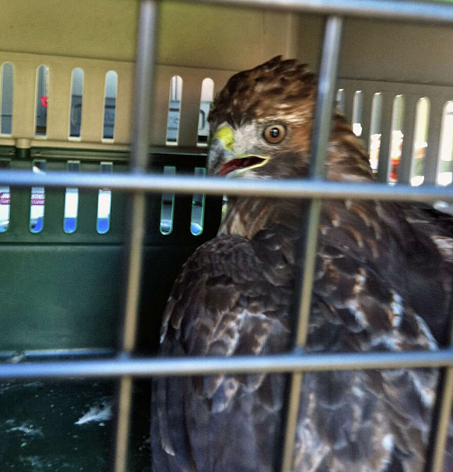 A red-tailed hawk spent the night at the town's Animal Shelter after it flew into a motorist's car on the Merritt Parkway Sunday afternoon. Photo: Contributed Photo / Fairfield Citizen