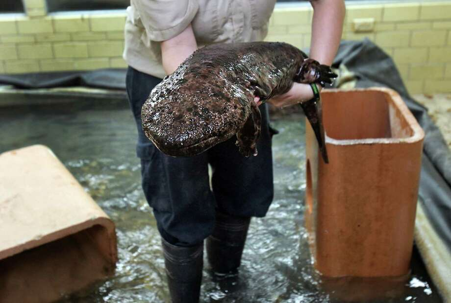 Sam Johnson of the Reptile Department at the San Antonio Zoo moves one of seven Japanese Giant Salamanders on thier way to their new home in the Kronkosky's Tiny Tot Nature Spot.  Wednesday, Sept. 12, 2012. Photo: BOB OWEN, San Antonio Express-News / © 2012 San Antonio Express-News