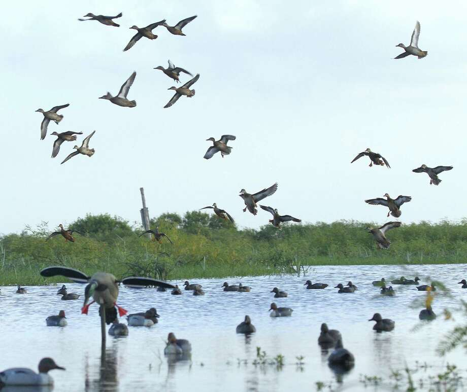 With teal populations at record levels, waterfowlers on coastal wetlands should see plenty of the small ducks during Texas' Sept. 15-30 teal-only hunting season. Photo: Picasa