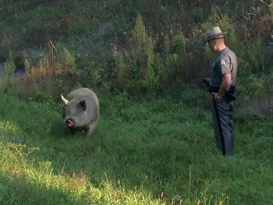 A State Police trooper stares down a wayard pig near Exit 11 on the Thruway Thursday morning. (Paul Block/Times Union)