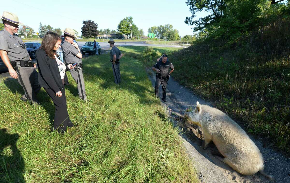 State Police and civilians help to coral a large boar pig on the entrance ramp to I-87 at Exit 11 in Malta, N.Y. Sept. 13, 2012. (Skip Dickstein/Times Union)