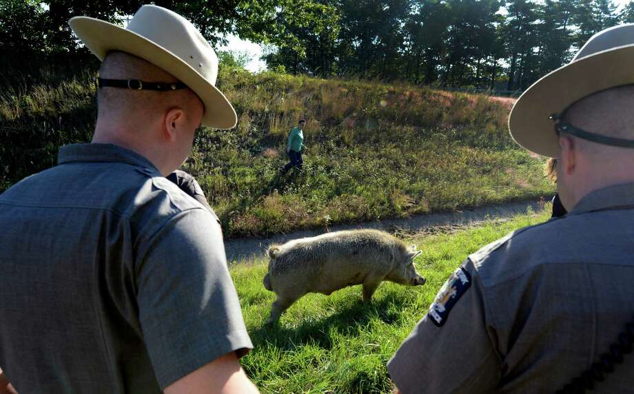 State Police and civilians help to coral a large boar pig on the entrance ramp to I-87 at Exit 11 in Malta, N.Y. Sept. 13, 2012.     (Skip Dickstein/Times Union) Photo: Skip Dickstein