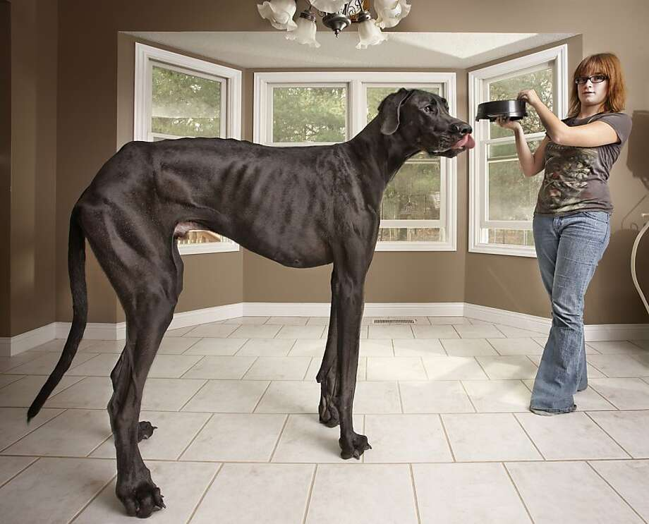 Tallest dog ever: Zeus, a 3-year-old Great Dane from Otsego,  Mich., is featured as the tallest dog ever in the new Guinness World  Records 2013 book. He measures 44 inches foot to withers and 7-foot-4  standing on his hind legs. Owner Denise Doorlag (pictured) says he eats a  30-pound bag of food every day. Photo: -, AFP/Getty Images