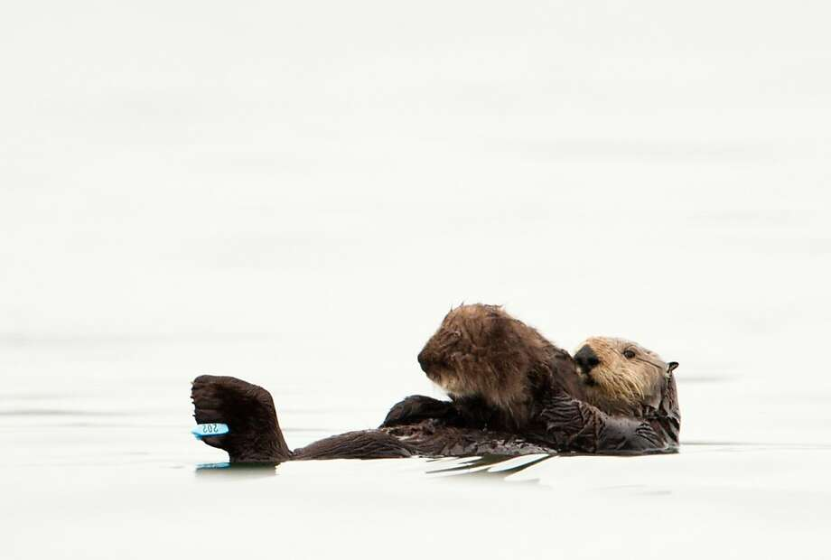 Olive, a sea otter who was found covered in oil on a Monterey Bay beach in 2009, became the first previously oiled sea otter to give birth. She and her pup are doing well, living on their own in the Monterey area. Photo: California Dept Of Fish And Game