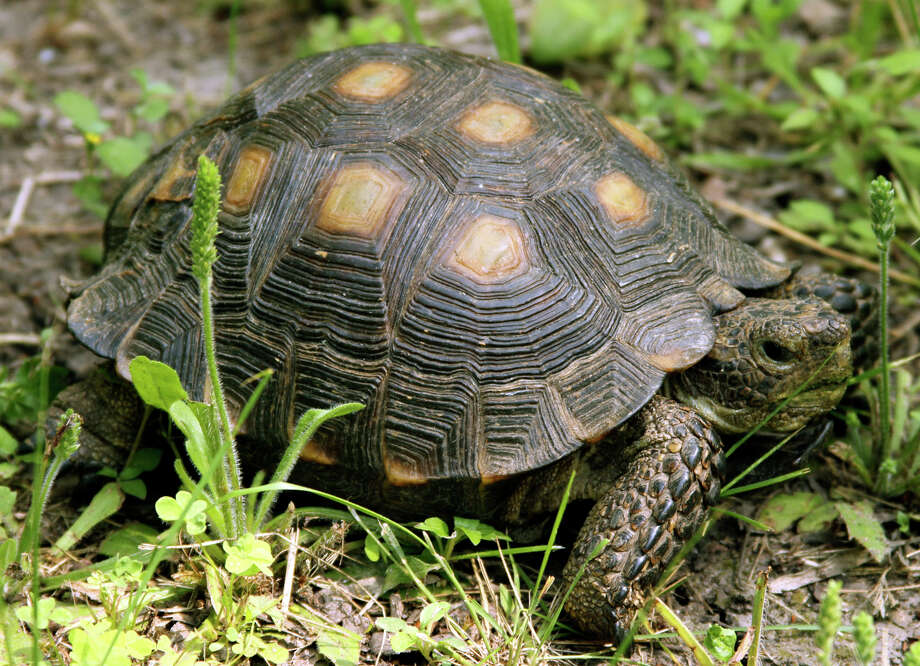 Texas Tortoise Photo: Forrest M. Mims III, For The Express-News