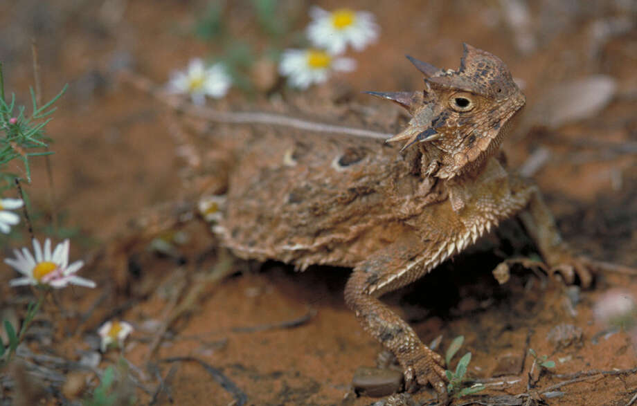 The Texas horned lizard population is declining in parts of central and  east Texas, but staying strong in areas of West Texas, media outlets  report. Photo: Courtesy Photo, Texas Parks And Wildlife Department / Texas Parks & Wildlife