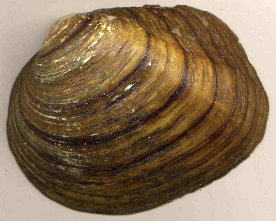 Texas Pimpleback Mussel Photo: Courtesy Photo, Texas Parks And Wildlife Department