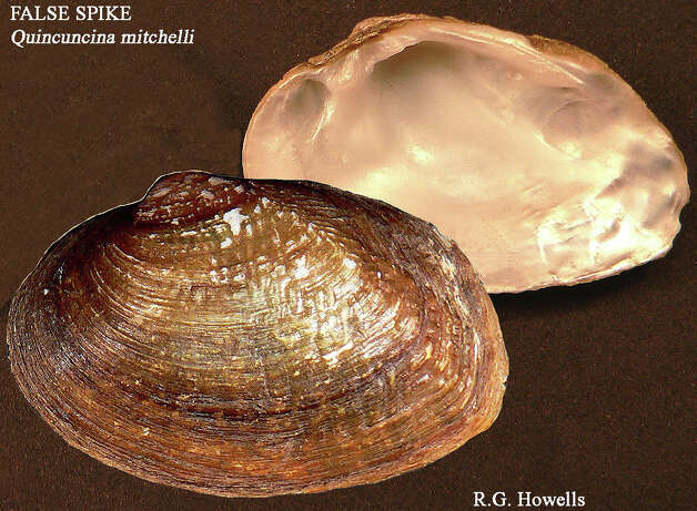 False Spike Mussel. Photo: Courtesy Photo, Texas Parks And Wildlife Department