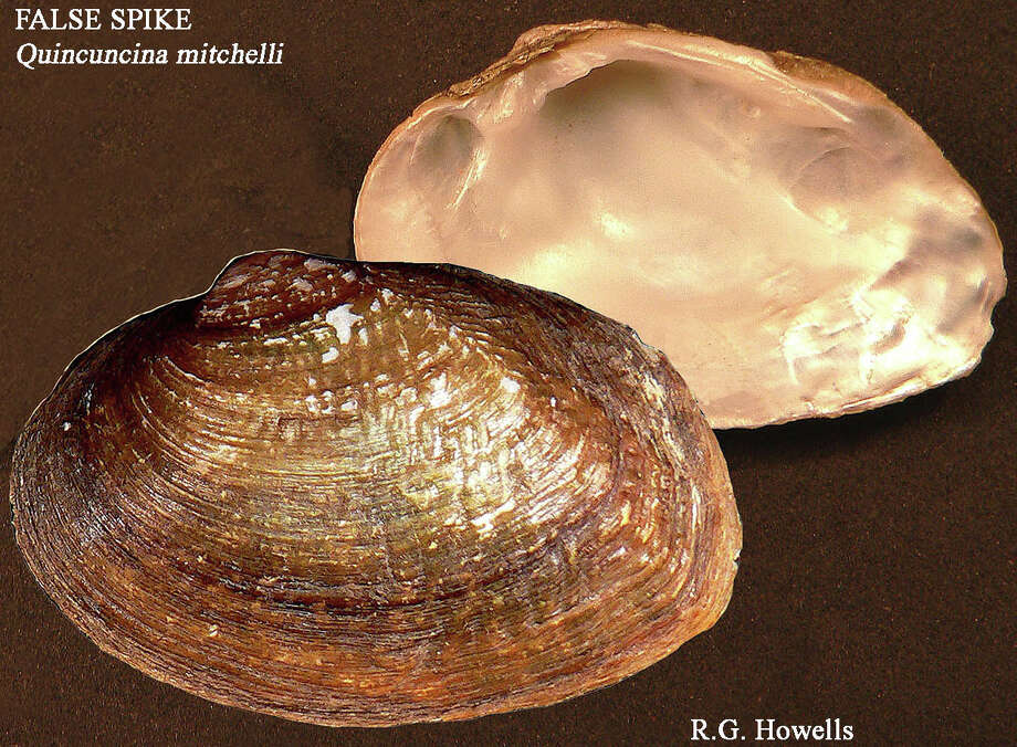False Spike Mussel Photo: Courtesy Photo, Texas Parks And Wildlife Department