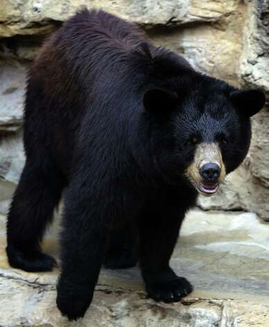 Black Bear. Photo: Bob Owen, San Antonio Express-News / © 2012 San Antonio Express-News