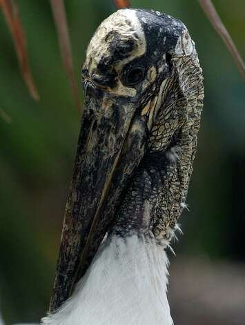 Wood Stork. Photo: J. Pat Carter, Associated Press / AP