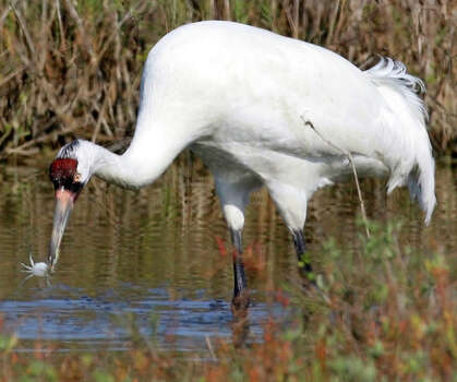 Whooping Crane Photo: Jerry Lara, San Antonio Express-News / glara@express-news.net