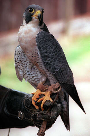 Peregrine Falcon. Photo: Bob Owen, San Antonio Express-News / en