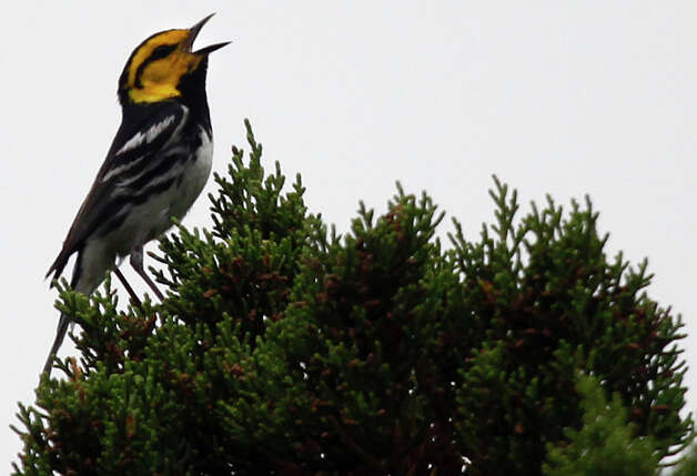Here are some of the rare, threatened and endangered species indigenous to Bexar County. Some you may recognize.