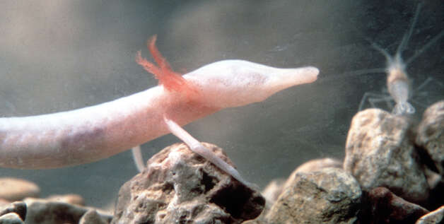 Texas Blind Salamander. Photo: San Antonio Express-News File Photo