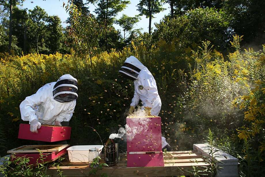 Honey bees belonging to Lackawanna Backyard Beekeeper's member Ellen McGlynn, right, are inspected by the Department of Agriculture's apiary inspector Danielle Mislinski in Clarks Summit, Pa., on Thursday, Sept. 13, 2012. A sampling of the colonies bees are covered in powdered sugar by the inspector to help count disease carrying verroa mites that have fall off the bees during the inspection. Photo: Jake Danna Stevens, Associated Press