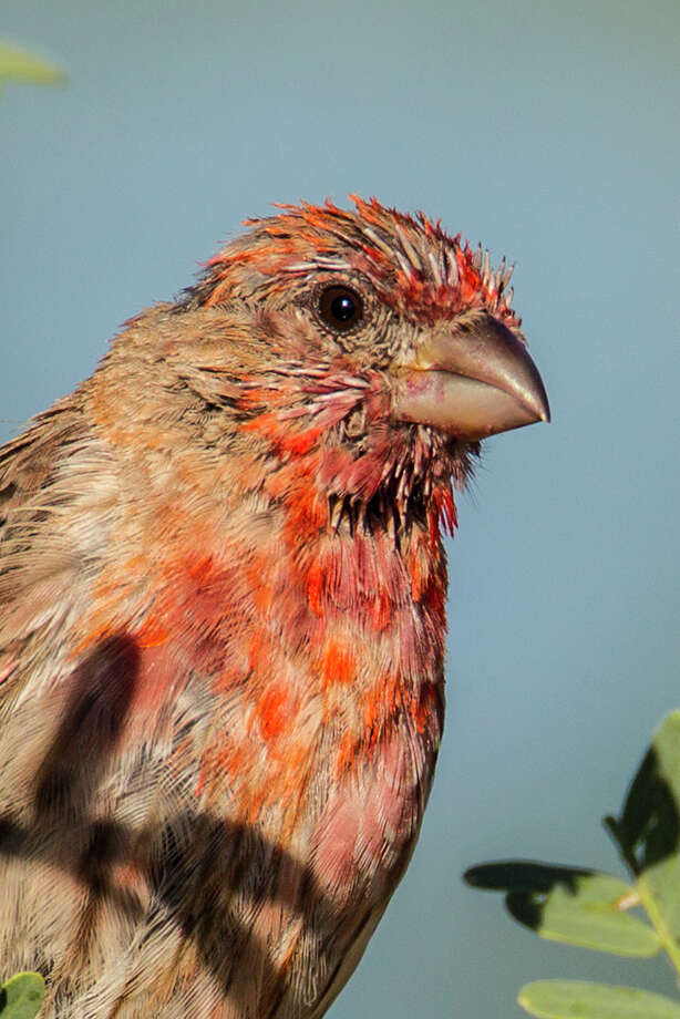 A house finch undergoes feather molt after the breeding season. Photo: Kathy Adams Clark / Kathy Adams Clark/KAC Productions