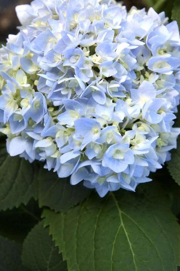 Bailey Nurseries Endless Summer  hydrangea is blue in acidic soil. / handout