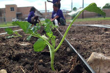 A broccoli transplant waits to be watered at the East Side Boys & Girls Club.