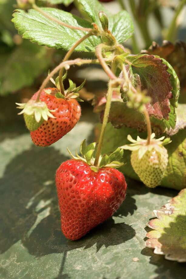 Plant strawberry transplants now to reap fruit in the spring.