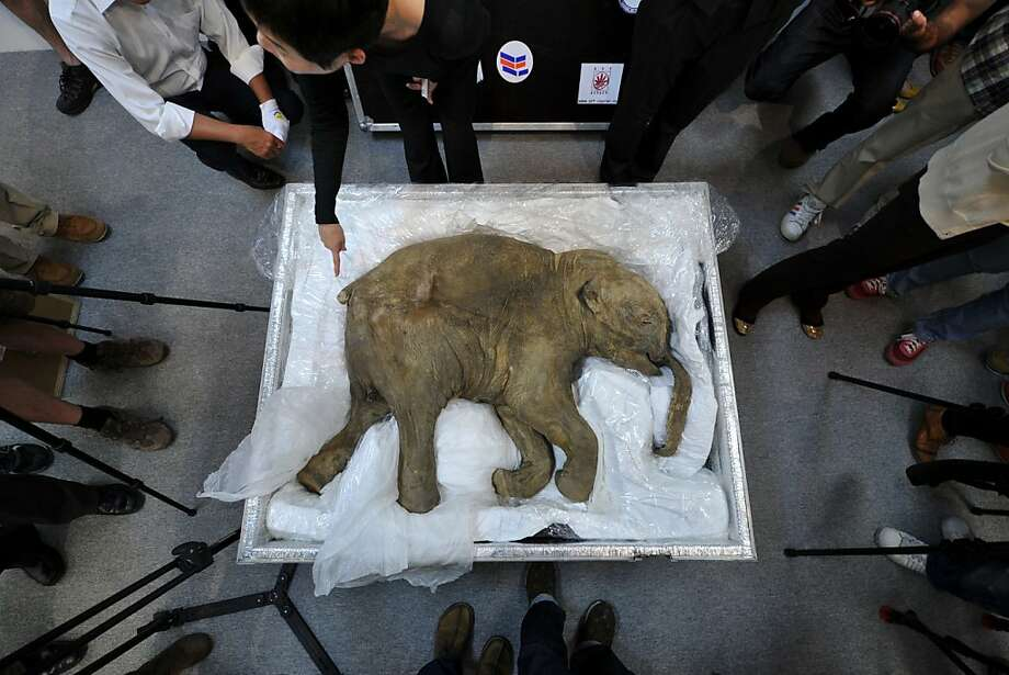 Preserved mammoth fragments may allow cloning of the prehistoric beast. Photo: Aaron Tam, AFP/Getty Images