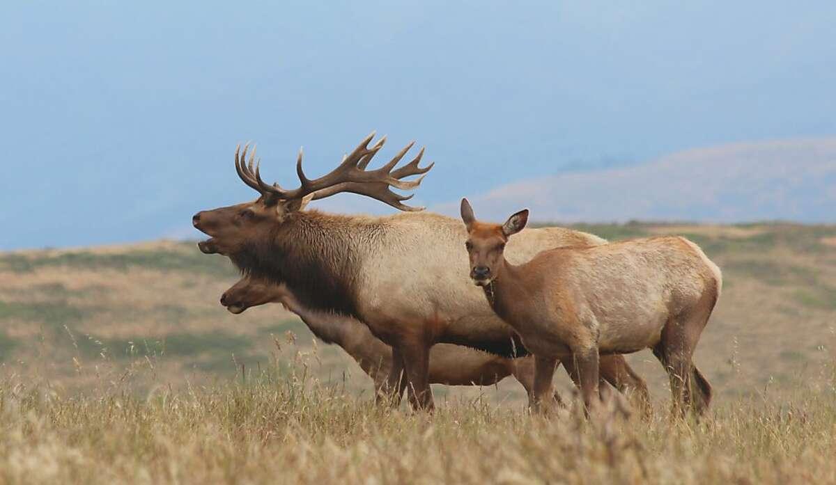 Bull tule elk with two females bugles for harem.