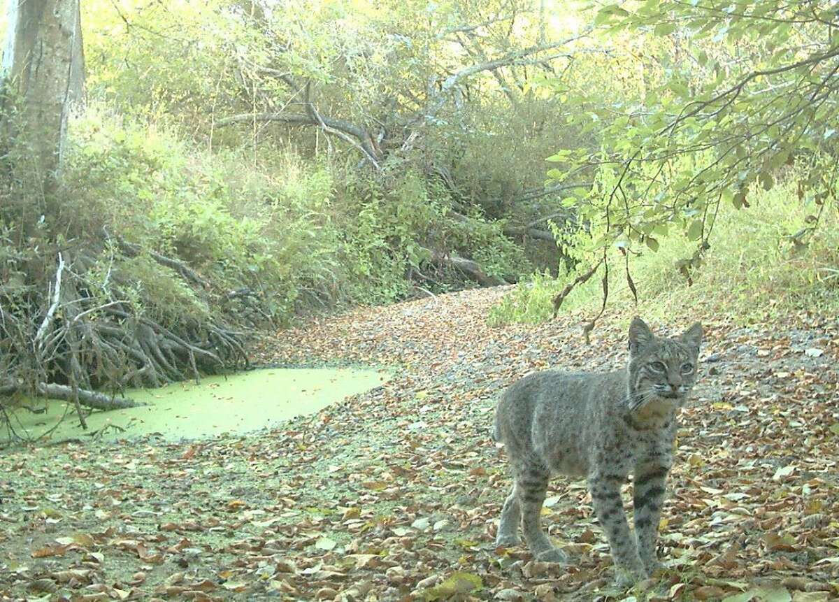 Bobcat shot with hidden motion-activated wildlife cam.