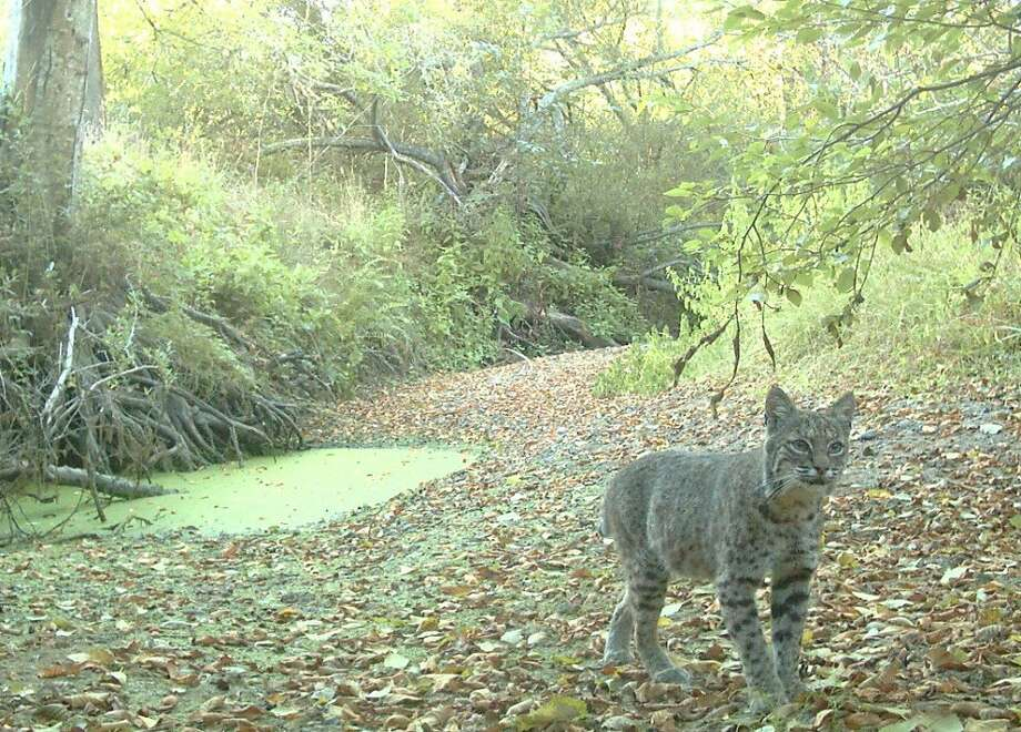 A bobcat traipses through Point Reyes National Seashore. Wildlife advocates say commercial trappers set up their traps at the boundaries of national parks. Photo: Courtesy Point Reyes National Se