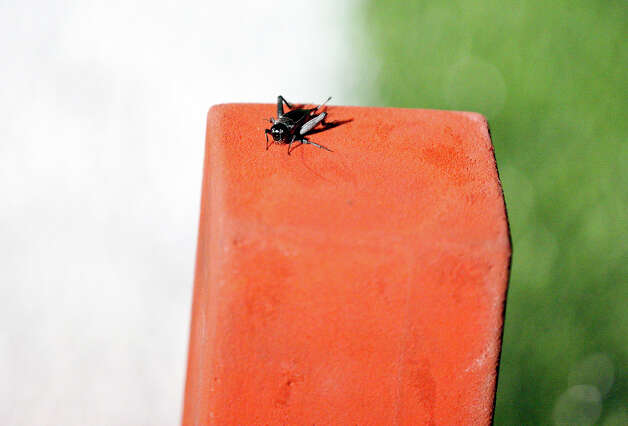A cricket rest on the pylon during the Brennan and East Central football game Friday Sept. 14, 2012 at Hornet Stadium. Brennan won 24-0. Photo: Edward A. Ornelas, Express-News / © 2012 San Antonio Express-News