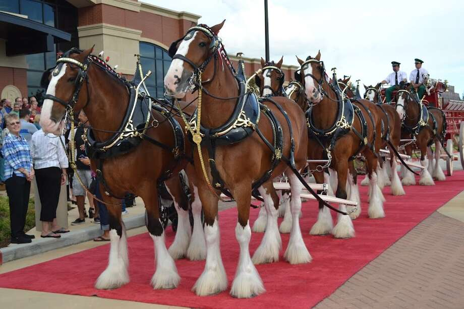 A team of Budweiser Clydesdales helped inaugurate the new Del Papa Distributing Co. center in Texas City. Photo: Ronnie Crocker