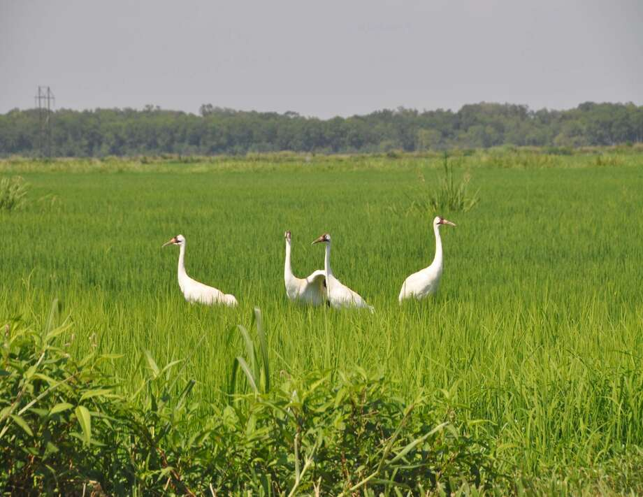 More than a dozen young whooping cranes will be placed among a flock in southwest Louisiana.  / LSU AgCenter and U.S. Geological