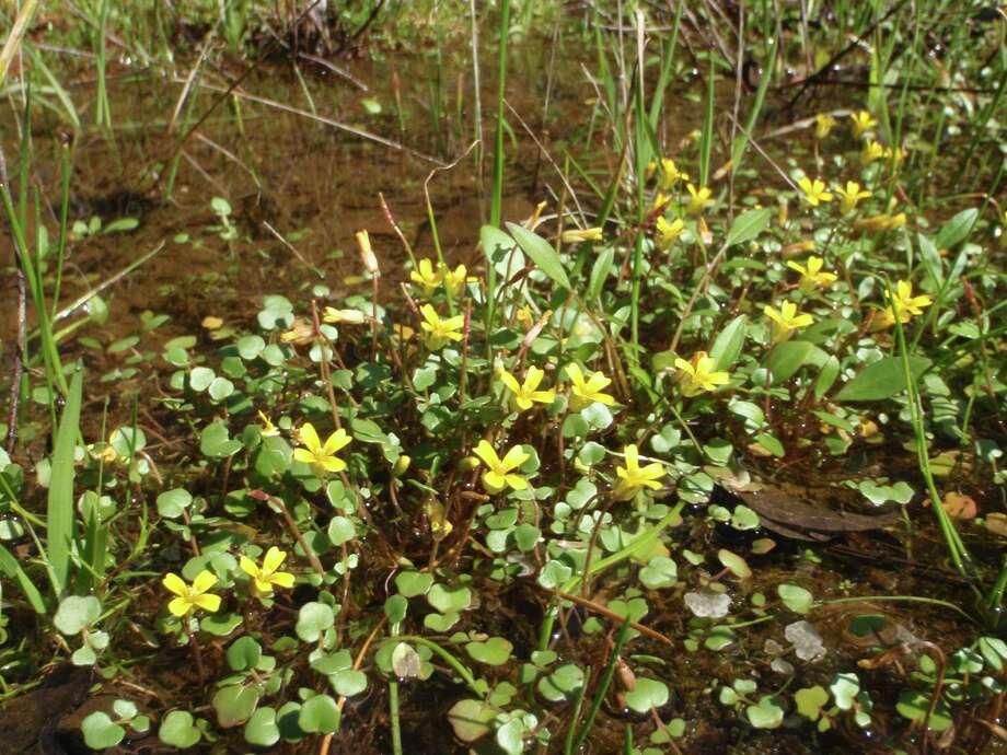 The Texas golden gladecress is known to grow in only eight locations. / Texas Parks and Wildlife Departm