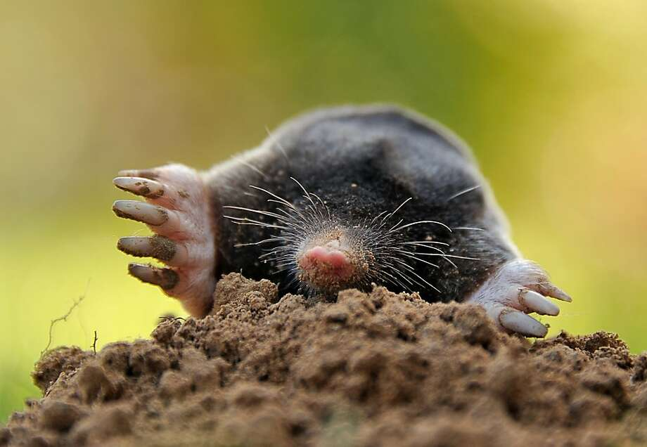 I'm alright, nobody worry 'bout me:Not to make a mountain out of a mole hill, but a property in Godewaersvelde, France, might have a subterranean varmint problem. Photo: Philippe Huguen, AFP/Getty Images