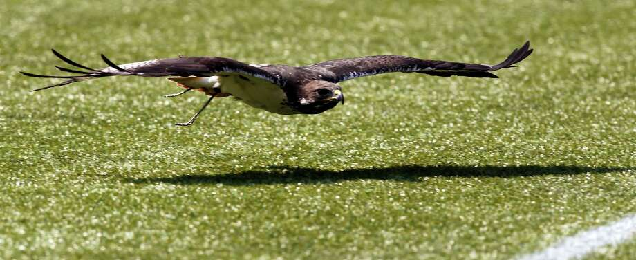 Taima, an augur hawk, flies out onto the field to lead the Seattle Seahawks before an NFL football game against the Dallas Cowboys, Sunday, Sept. 16, 2012, in Seattle. The Seahawks won 27-7. Photo: AP