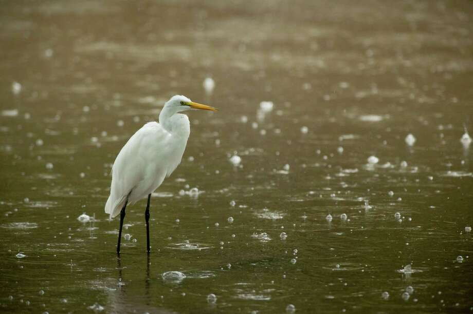 A great egret wades in the swollen San Antonio River, Sunday, Sept. 16, 2012, in Brackenridge Park in San Antonio. Photo: Darren Abate, Darren Abate/For The Express-New