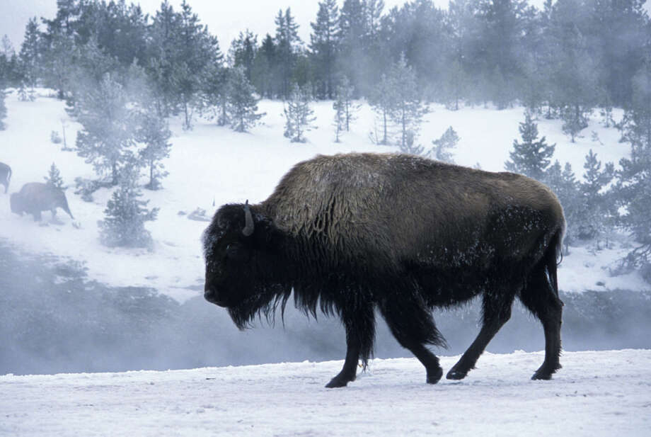 The Natural Resources Defense Council launched its BioGems Initiative in an effort to safeguard special places that face an imminent threat of destruction, from pristine coastlines to ancient forests to unspoiled habitats and the wildlife that thrive in them. Pictured: a Yellowstone buffalo in winter. Photo courtesy of  Ingram Publishing/Thinkstock Photo: Contributed Photo