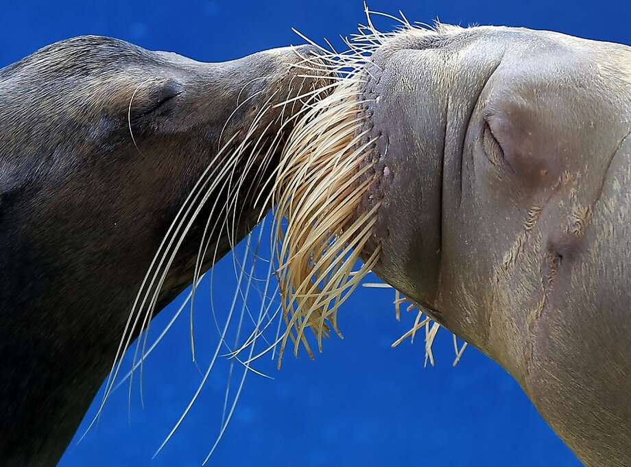 It's just like kissing Wilford Brimley: A sea lion and a walrus get romantic at Hakkeijima Sea Paradise in Yokohama, Japan. Photo: Itsuo Inouye, Associated Press