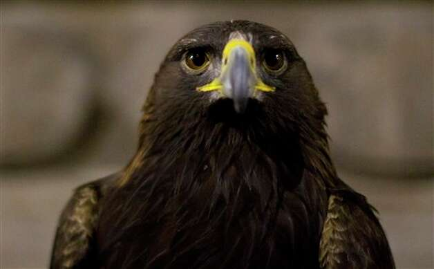 Atenas, a female eagle, rests over the arm of a military cadet, not seen, prior to the military parade of the Independence Day celebrations, Mexico City, Sunday Sept. 16, 2012. Mexico celebrates the 202nd anniversary of its 1810 independence uprising. (AP Photo/Alexandre Meneghini) Photo: Associated Press