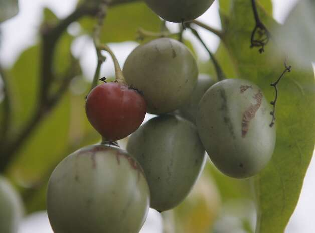 Tree tomatoes, still not quite ripe, were among the varieties available last year at Merritt College. Photo: Thomas Webb, The Chronicle