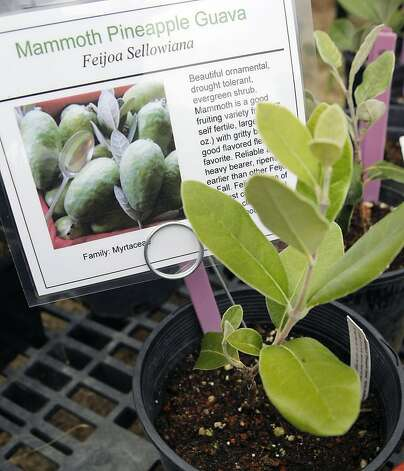 Merritt College's Fall Festival and Plant Sale drew crowds of green-thumbed Bay Area residents in  Oakland, Calif. on Friday, Oct. 1, 2011.  Varieties of plants from are available from all around the world, and the staff are on hand to answer questions and give advice. Photo: Thomas Webb, The Chronicle