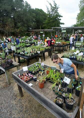 The annual fall plant sale at Merritt College benefits programs offered by the Oakland school's noteworthy horticulture department. Photo: Thomas Webb, The Chronicle