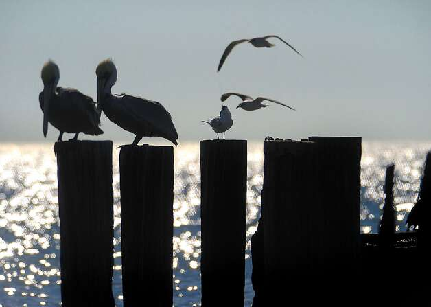 Brown pelicans and seagulls bask in the sunshine of a beautiful and warm day at Crystal Beach last week. Guiseppe Barranco/The Enterprise / Beaumont