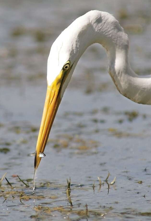 An egret scores a bite of lunch  on Thursday, September, 13, 2012, while patiently fishing in the shallow waters of the Yakima River near Bateman Island in Richland, Washington. The stealthy bird seemed to be having good luck catching a variety of small fish. (Bob Brawdy/Tri-City Herald/MCT) Photo: Bob Brawdy, McClatchy-Tribune News Service